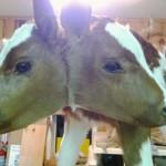 Podívejte se, jak se narodila dvouhlavá kráva.