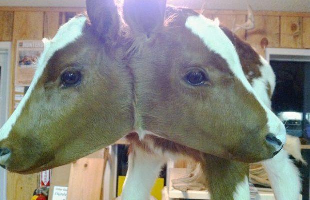 Podívejte se, jak se narodila dvouhlavá kráva. 1