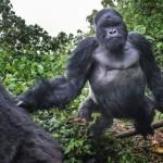 Fotograf se popral s gorilou. Takhle to dopadlo