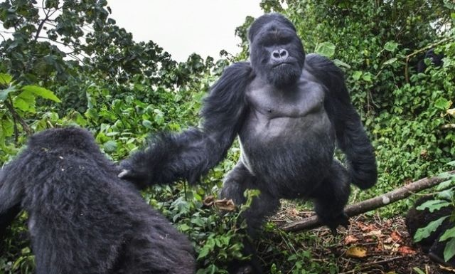 Fotograf se popral s gorilou. Takhle to dopadlo 1