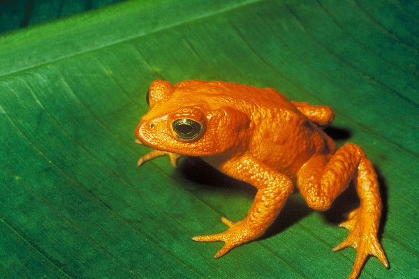 costa-rican-golden-toad