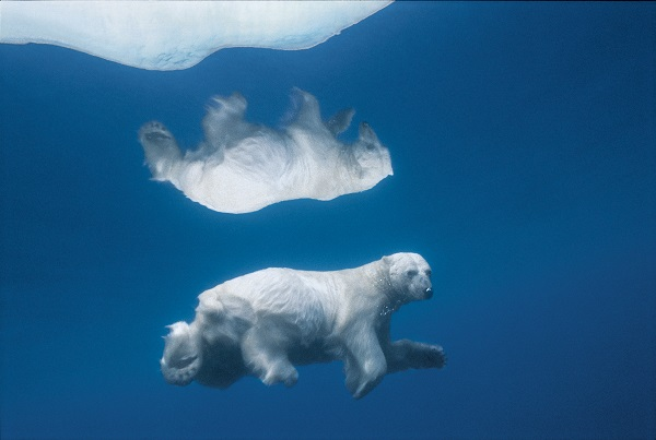 Its image mirrored in icy water, a polar bear swims submerged.