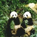 Neuvěříte, jak dlouho souložili tyto pandy.