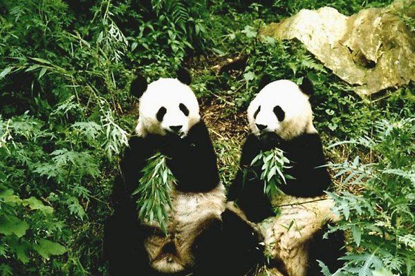 Neuvěříte, jak dlouho souložili tyto pandy. 1