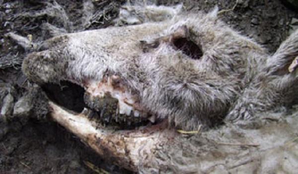 ufo-zohaveni-ovci-dobytka