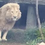 V ulicích běhali hroši, tygři i lvi 7