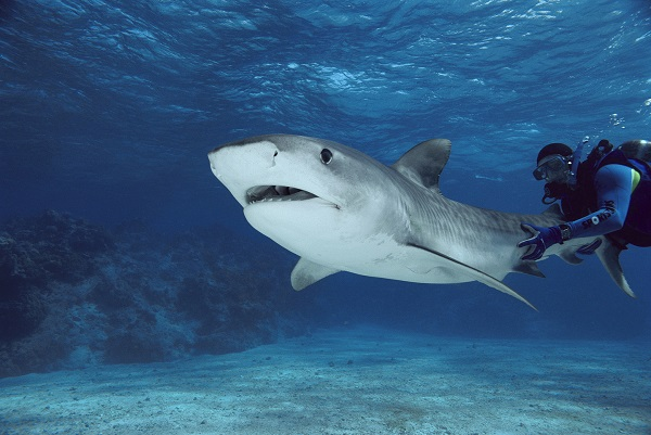 27 Mar 2001, Australia --- Tiger Shark (Galeocerdo cuvieri) with underwater diver holding tail, Marion Reef, Coral Sea, Australia --- Image by © Mike Parry/Minden Pictures/Corbis