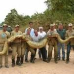 35 metrové amazonské anakondy: jsou skutečné? 4