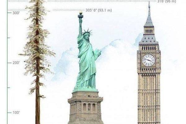 Hyperion, nejvyšší strom světa, seznamte se 1