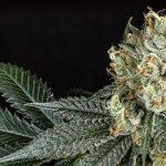V Kanadě vzniká jeden z největších producentů marihuany na světě