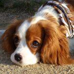 Nejroztomilejší psí plemena 8