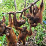 Džungle v Indonésii, kde se ještě můžete setkat s orangutany 5
