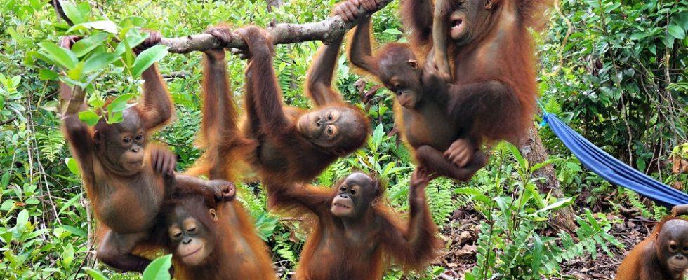 Džungle v Indonésii, kde se ještě můžete setkat s orangutany 1