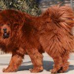 Nejdražší psí plemena na světě 7