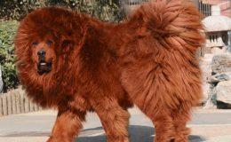 Nejdražší psí plemena na světě 6