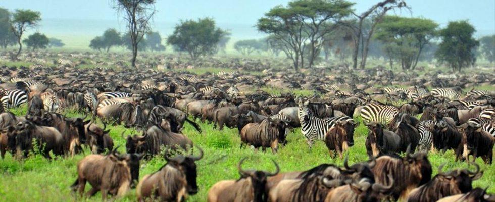 Velká migrace divokých zvířat v Tanzanii 1