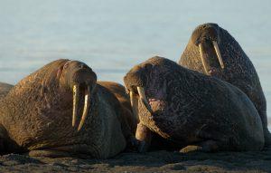 Vikingové přispěli k vyhynutí živočišných druhů 2