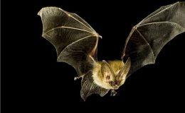 Proč tolik nebezpečných virových infekcí pochází od netopýrů? 3