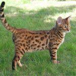 10 nejdražších plemen koček 7