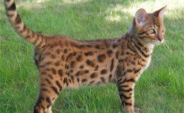 10 nejdražších plemen koček 20