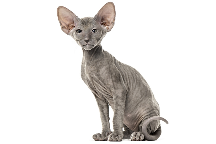 10 nejdražších plemen koček 2