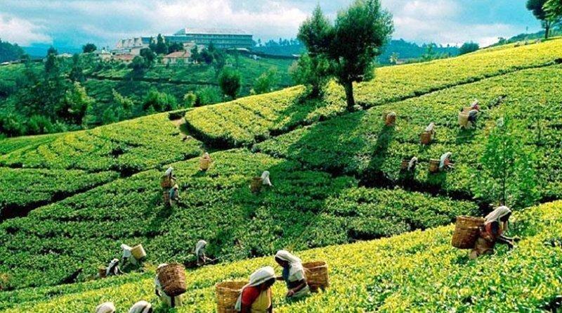 O čaji a jeho druzích 2